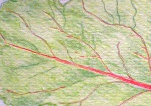 Beetroot leaf section