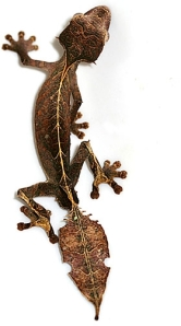 leaf tailed gecko 2.jpg