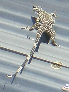 Goanna on roof