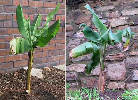 banana-trees-7-weeks