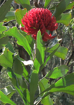 The beauty of our state emblem, the Waratah